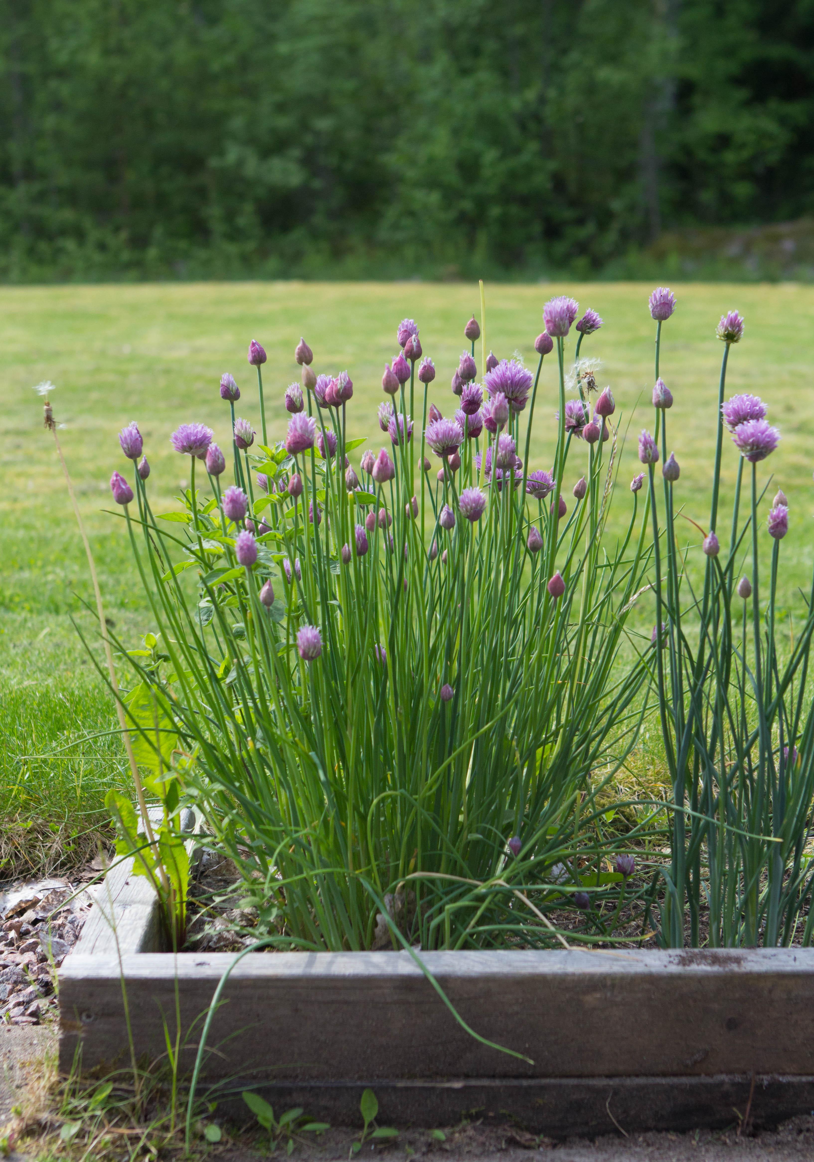 Gräslöksplantor framför en gräsmatta.