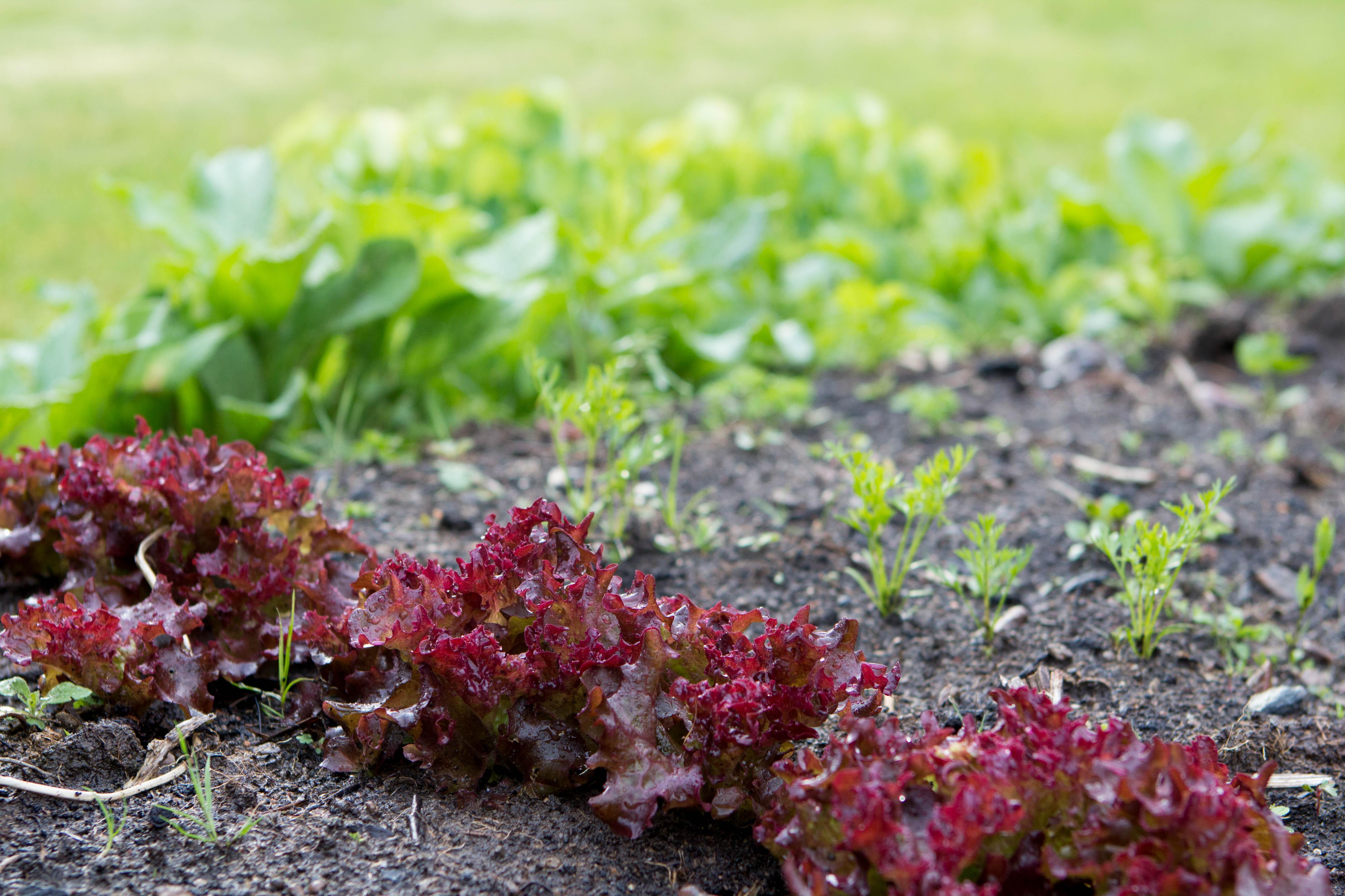 En bild på liten, röd sallat i en rad och små morotsplantor.