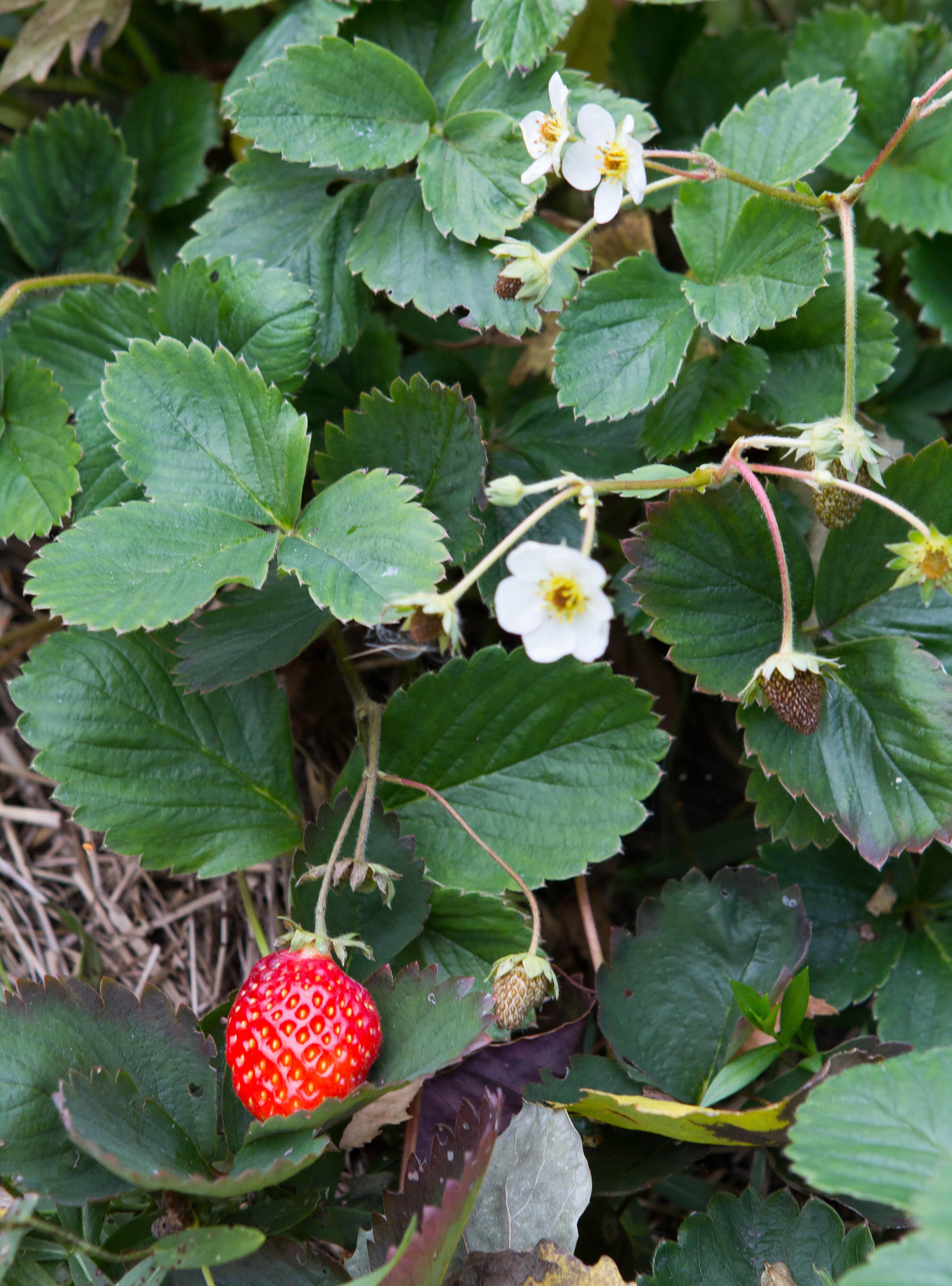 jordgubbar i ett snack track