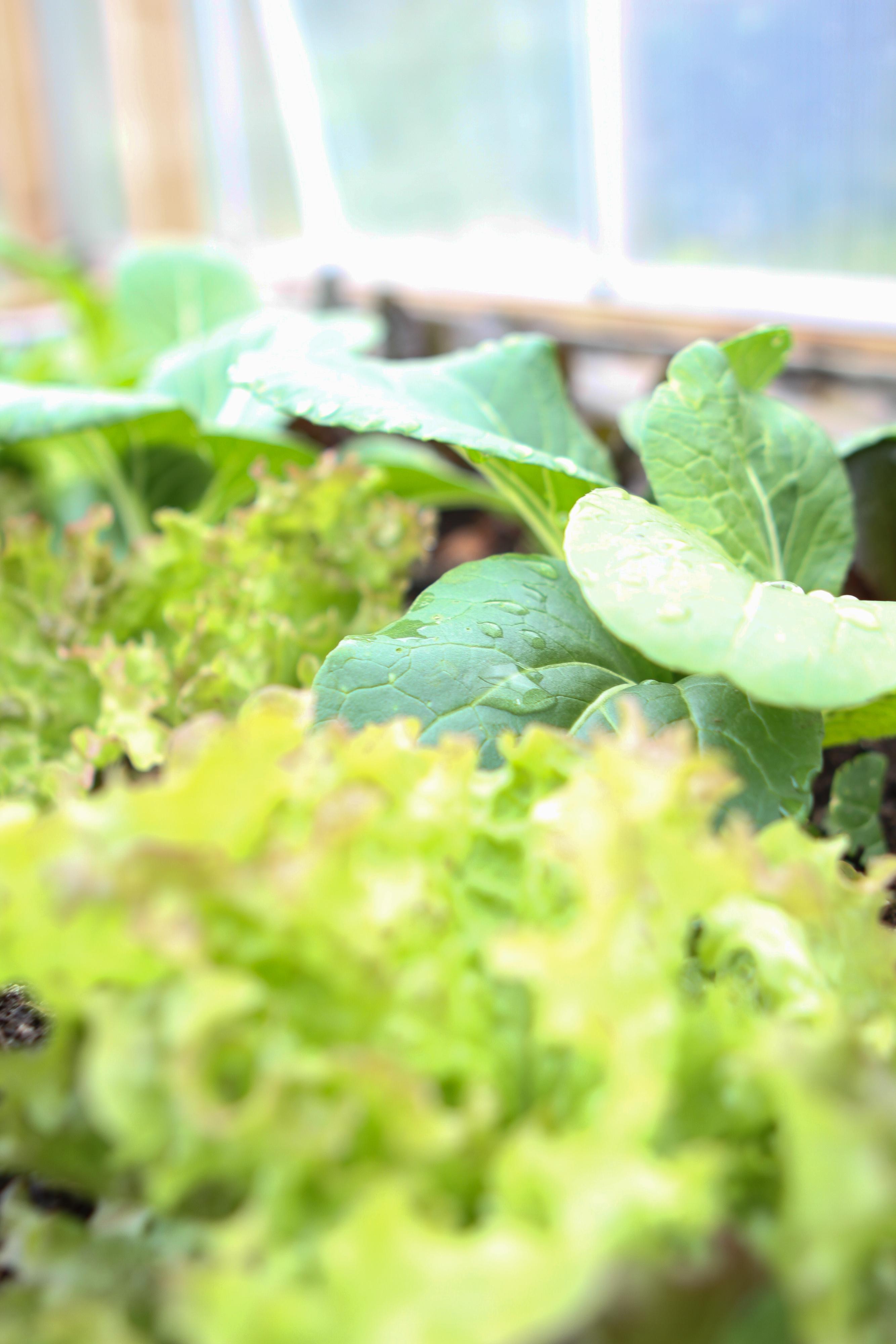 Pak choi och sallat i ett växthus.